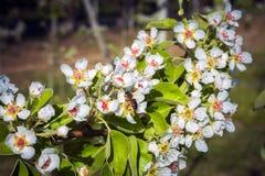 De bij verzamelt honing van de tot bloei komende perenboom royalty-vrije stock foto's