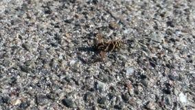 De bij verzamelt mier, natuurlijke aard stock video