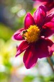 De bij verzamelt nectar bij mooie bloemdahlia's abstracte achtergrond Ruimte op achtergrond voor exemplaar, tekst, uw woorden stock foto