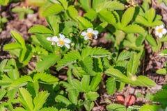De bij verzamelt de nectar in de bloemen van de wilde aardbei royalty-vrije stock afbeeldingen