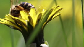 De bij verzamelt Nectar In The Dandelion stock videobeelden