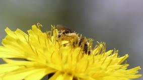 De bij verzamelt Nectar In The Dandelion stock video
