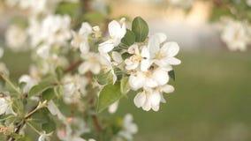 De bij verzamelt nectar en stuifmeel van mooie witte bloemen van Apple-boom op de achtergrond van blauwe hemel in de zomer stock videobeelden
