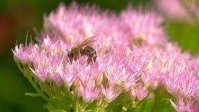 De bij verzamelt nectar op bloesem roze bloem stock videobeelden