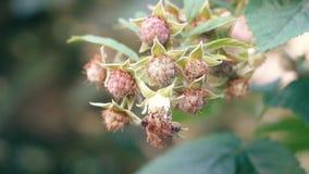 De bij verzamelt Nectar op een Frambozenbloem stock video