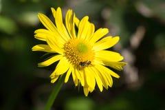 De bij verzamelt de nectar op een gele bloem stock foto's