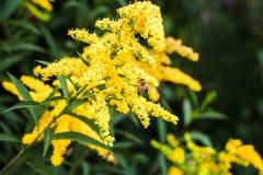 De bij verzamelt nectar op een gele Mimosa Stock Afbeeldingen