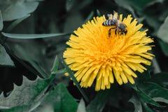 De bij verzamelt nectar op een paardebloem, gele paardebloem, bloem, groen gras, geel stuifmeel stock foto's