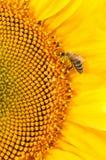 De bij verzamelt nectar op grote zonnebloemenbloem Stock Foto