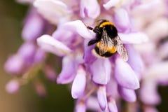 De bij verzamelt nectar op klaver, witte klaver, bloemen, groen gras Stock Fotografie