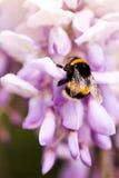 De bij verzamelt nectar op klaver, witte klaver, bloemen, groen gras Royalty-vrije Stock Foto's