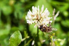 De bij verzamelt nectar op klaver, witte klaver, bloemen, groen gras Stock Foto's
