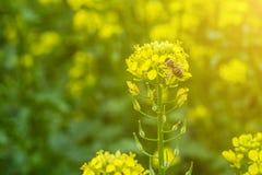 De bij verzamelt de nectar op de mosterdbloemen op het gebied Stock Foto