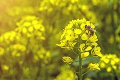 De bij verzamelt de nectar op de mosterdbloemen op het gebied Stock Afbeelding