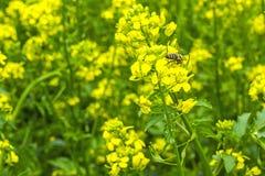 De bij verzamelt de nectar op de mosterdbloemen op het gebied Stock Foto's