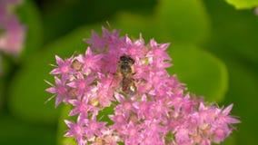 De bij verzamelt nectar op roze bloem Hoogste mening stock videobeelden