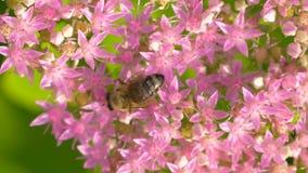 De bij verzamelt nectar op roze bloem Hoogste mening stock video