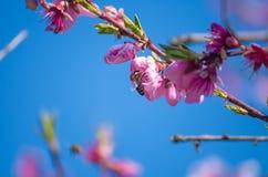 De bij verzamelt nectar van bloeiende perziken in de lente Perzikbloemen tegen een blauwe achtergrond van de de lentehemel Roze b royalty-vrije stock afbeelding