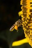 De bij verzamelt nectar van bloemen Royalty-vrije Stock Foto