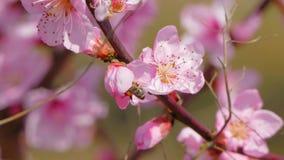 De bij verzamelt de nectar van de bloemen Close-up stock video