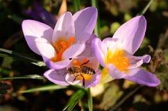 De bij verzamelt nectar van bloemenkrokus stock afbeeldingen