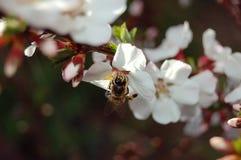 De bij verzamelt nectar van een kersenbloesem, close-up Stock Foto's