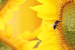 De bij verzamelt nectar van een zonnebloembloem op oranje achtergrond Royalty-vrije Stock Fotografie