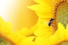 De bij verzamelt nectar van een zonnebloembloem op oranje achtergrond Royalty-vrije Stock Afbeeldingen