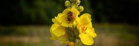 De bij verzamelt nectar van de mulleinbloemen in de weide royalty-vrije stock afbeelding