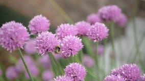 De bij verzamelt nectar van purper bloeiend bieslook Sluit omhoog stock videobeelden