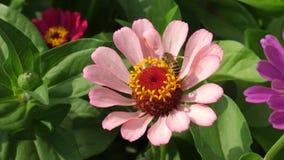 De bij verzamelt nectar van roze bloem in de tuin in de lente, de zomer Multicolored bloemen in het park Mooi stock footage