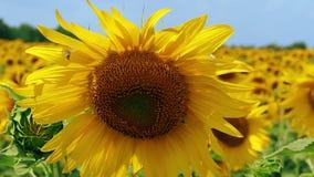 De bij verzamelt nectarhoning op zonnebloem en vliegt weg Sluit omhoog stock video