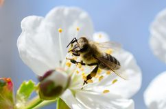 De bij verzamelt stuifmeel en nectar op kersenboom Stock Afbeeldingen