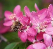 De bij verzamelt stuifmeel op het Roze mooie paradijs van boombloemen appl Royalty-vrije Stock Foto