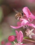 De bij verzamelt stuifmeel op het Roze mooie paradijs van boombloemen appl Stock Afbeeldingen