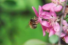 De bij verzamelt stuifmeel op het Roze mooie paradijs van boombloemen appl Stock Foto