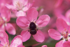 De bij verzamelt stuifmeel op het Roze mooie paradijs van boombloemen appl Stock Afbeelding