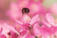 De bij verzamelt stuifmeel op het Roze mooie paradijs van boombloemen appl Royalty-vrije Stock Fotografie