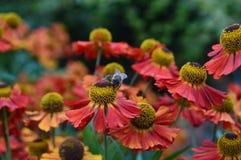 De bij verzamelt stuifmeel van bloemen in de weide royalty-vrije stock afbeelding
