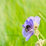 De bij verzamelt stuifmeel van een bloem Stock Foto