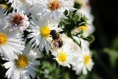 De bij verzamelt stuifmeel van een witte bloem stock afbeeldingen