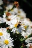 De bij verzamelt stuifmeel van een witte bloem stock fotografie