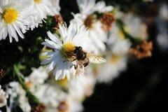 De bij verzamelt stuifmeel van een witte bloem stock foto