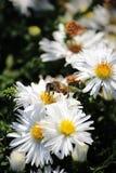 De bij verzamelt stuifmeel van een witte bloem royalty-vrije stock afbeeldingen