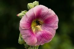 De bij verzamelt stuifmeel van de malvebloem in de tuin royalty-vrije stock afbeelding