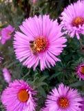 De bij verzamelt stuifmeel voor honing op een roze bloem, de herfst, hoogste mening stock afbeelding