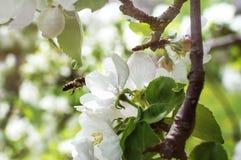 De bij vliegt aan de appelbloesem voor bestuiving Close-up, selectieve nadruk Het concept een de lente bloeiende tuin stock fotografie