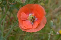 De bij voedert op Oranje Papaver 09 van Vlaanderen stock foto