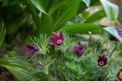 De bij zit op anemoonbloem in de zonnige lente bospasque of de anemoon groeit wild en zijn het bloeien is één van de eerste teken stock foto