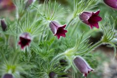 De bij zit op anemoonbloem in de zonnige lente bospasque of de anemoon groeit wild en zijn het bloeien is ??n van de eerste teken stock foto's